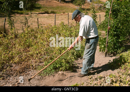 A farmer in the orchard, Dozon, Pontevedra province, Region of Galicia, Spain, Europe - Stock Photo