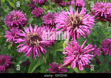 A clump of purple bergamot (monarda fistulosa) flowers in the herbaceous border of an English garden in August - Stock Photo