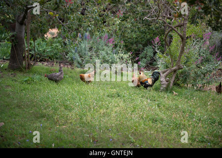 Chickens and Rooster on Grassy Field - Stock Photo