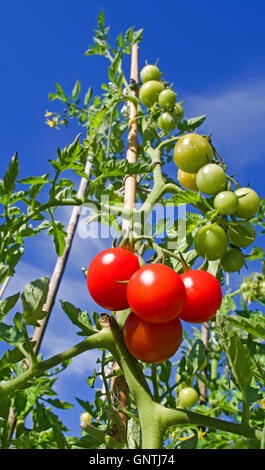 Looking upwards at tall staked tomato plant growing in garden in summer sunshine against deep blue sky, 4 ripe tomatoes - Stock Photo