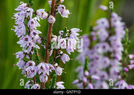 Close up of common heather / Scotch heather / ling (Calluna vulgaris) flowering in heathland in summer - Stock Photo