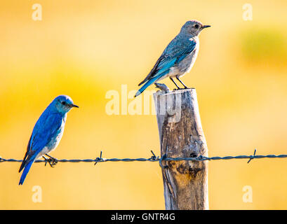 Male and Female Mountain Blue Birds perched on fence post. Idaho  State Bird, Idaho, USA - Stock Photo