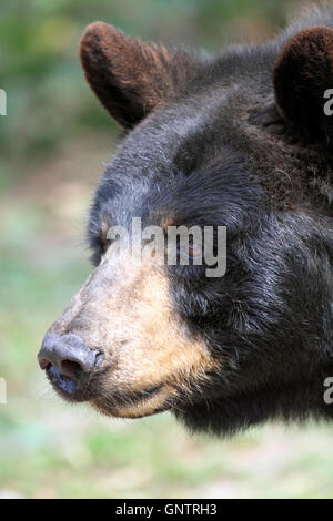American Black Bear, Ursus americanus, at the Popcorn Park Zoo Animal Rescue Sanctuary, Forked River, New Jersey, - Stock Photo