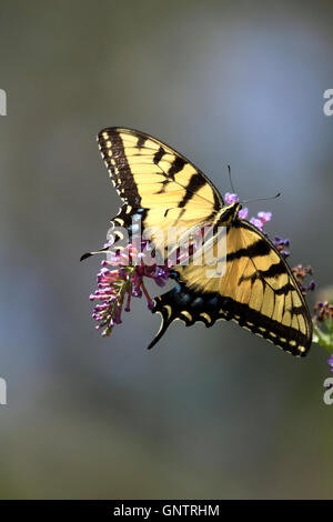 Eastern Tiger Swallowtail butterfly, Papilio glaucus, feeding on a butterfly bush. Verona, New Jersey, USA - Stock Photo