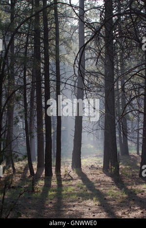 Smoke from a distant forest fire in the early morning, Kaibab Forest. Arizona, USA - Stock Photo