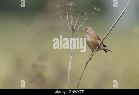 Male Common  Linnet-Carduelis cannabina. - Stock Photo