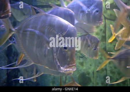 A lot of Fish swimming in a tank - Stock Photo