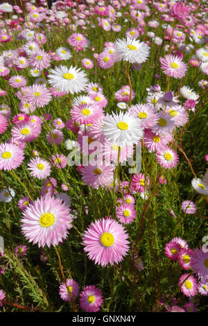 Perth, Western, Australia. 1st Sep, 2016. Spring wildflowers (native paper daisies, Rhodanthe chlorocephala) blooming in suburban Perth. Western Australia is a global hotspot of floral biodiversity with most spring wildflowers found nowhere else on Earth. Credit:  Suzanne Long/Alamy Live News