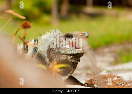 Iguana posing for photograph in Mexico. - Stock Photo