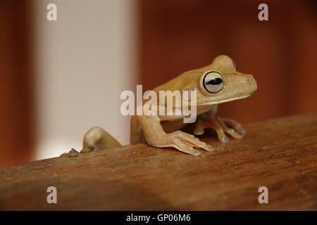 Close up shot of a Gladiator Tree Frog (Hypsiboas rosenbergi) in Manuel Antonio, Costa Rica. - Stock Photo