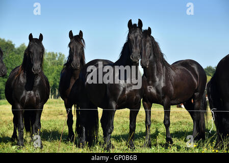Black Friesian Horses standing on the pasture in Friesland, The Netherlands. - Stock Photo