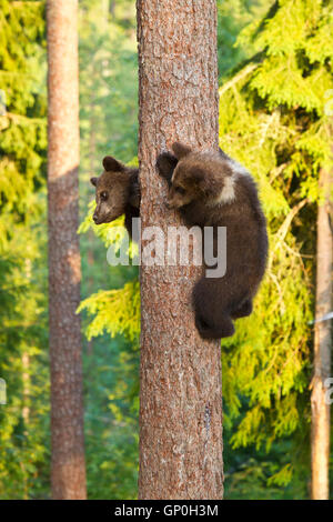 Twin brown bear cubs (Ursus arctos) looking down from a tree trunk having climbed it to avoid a male - Stock Photo