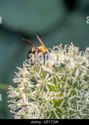 bumblebee, also written bumble bee, is any member of the bee genus Bombus, in the family Apidae - Stock Photo