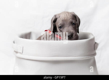 Great Dane puppy that is purebred in a white basket - Stock Photo