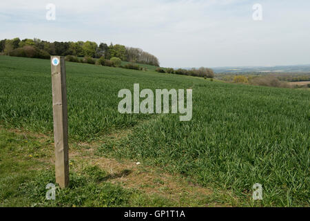 Footpath sign and path cut through stages of a winter wheat field on the North Wessex Downs in May - Stock Photo