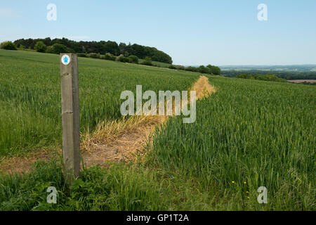 Footpath sign and path cut through stages of a winter wheat field on the North Wessex Downs in June - Stock Photo