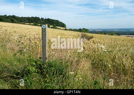 Footpath sign and path cut through stages of a winter wheat field on the North Wessex Downs in late July - Stock Photo