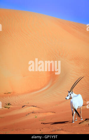 Oryxes or Arabian antelopes in the Desert Conservation Reserve near Dubai, UAE - Stock Photo