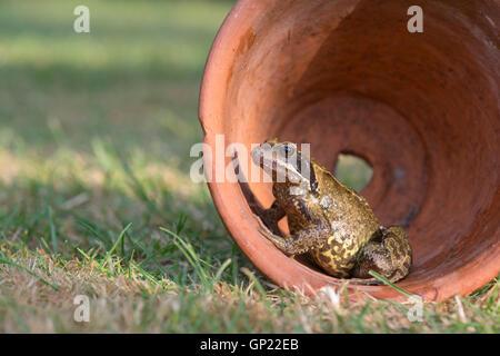 Rana Temporaria. Common garden frog in a terracotta flowerpot. UK - Stock Photo