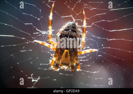 A common garden spider spinning a web in Sussex - Stock Photo