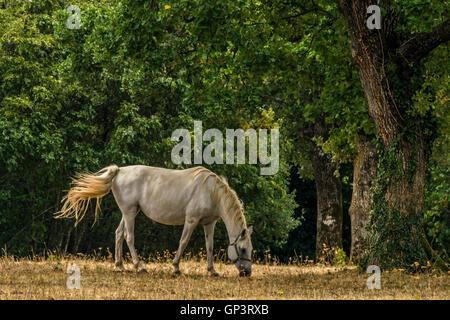 Lipizzaner horse on pasture - Stock Photo