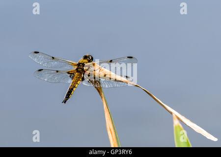 A dragonfly settled on a leaf near a lake on a golf course - Stock Photo