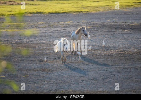 White camargue horses and cattle egrets (Bubulcus ibis) - Stock Photo