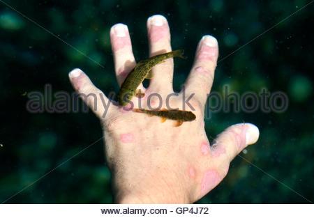 Doctor fish nibble fish kangal fish garra rufa fish for Fish pedicures near me