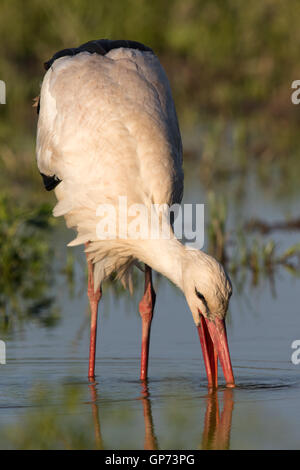 White Stork (Ciconia ciconia) feeding in a flooded field - Stock Photo