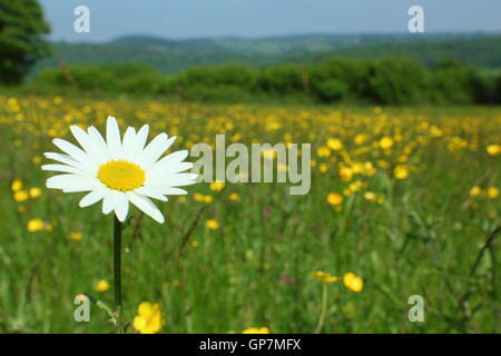 An oxeye daisy flowers in a traditional species rich wildflower meadow at Pentwyn Farm, Monmouthshire, Wales on - Stock Photo