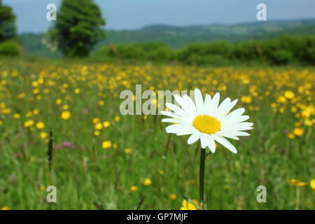 An oxeye daisy flowers in a traditional species rich wildflower meadow at PentwyFarm, Monmouthshire, Wales on a - Stock Photo