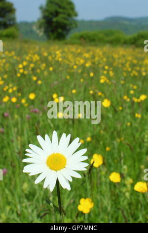 An oxeye daisy flowers in a traditional species rich wildflower meadow at Pentwyn Farm, Penallt, Monmouthshire, - Stock Photo