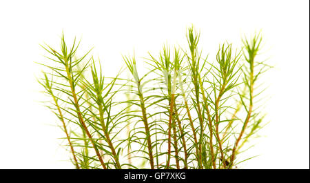 Polytrichum moss plants isolated on white background - Stock Photo