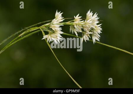 Snowy Wood-rush (Luzula nivea) flower - Stock Photo