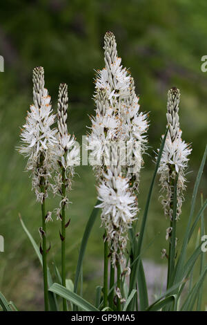 White Asphodel (Asphodelus albus) flowers - Stock Photo