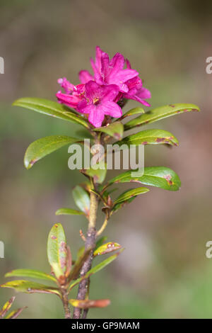 Alpenrose (Rhododendron ferrugineum) flower - Stock Photo