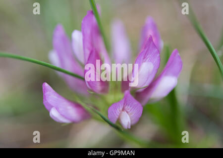 Pitch Trefoil (Bituminaria bituminosa) flower