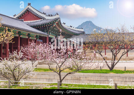 cherry blossom in spring of Gyeongbokgung Palace in seoul,korea - Stock Photo