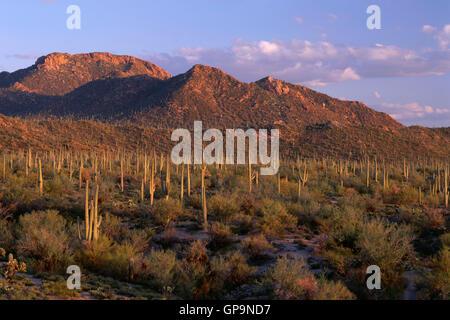 USA, Arizona, Saguaro National Park, Evening light on saguaro cacti and Tucson Mountains from Signal Hill. - Stock Photo