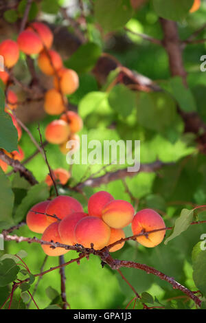 Apricots on tree - Stock Photo