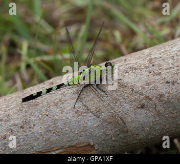 Neon green dragonfly that is sitting on a log - Stock Photo
