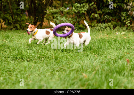 Two small dogs playing with big toy - Stock Photo