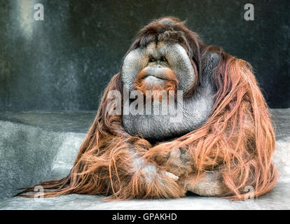 A grand old Bornean orangutan (Pongo pygmaeus) stares at visitors to the San Diego Zoo in Southern California, USA. - Stock Photo