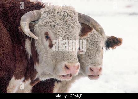 Curly white hair marks the handsome faces of Hereford cattle, an historic and popular breed of beef cattle that - Stock Photo