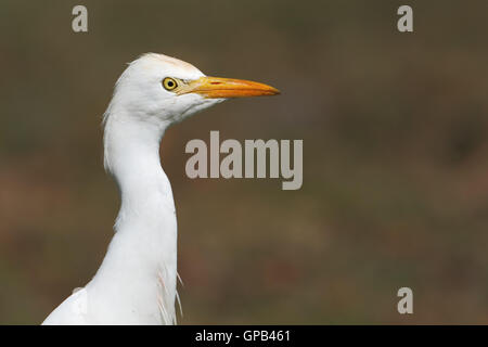 Cattle egret (Bubulcus ibis) portrait against clean background, Kissimmee, Florida, USA - Stock Photo
