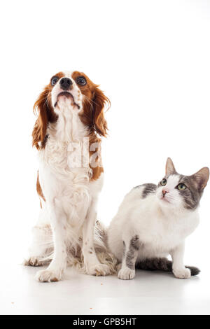cavalier king charles with cat  vs dog enemies or friends white,photo,studio,shape,isolated,3D,banner,stock,picture,logo,shape, - Stock Photo