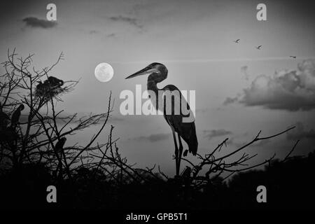 This juvenile, fledgling Great Blue Heron alighted on its nesting island at day's end just as the rising moon came - Stock Photo