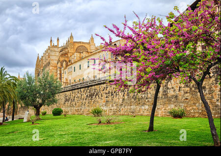 Red blooming cherry tree in front of La Seu, the cathedral of Palma de Mallorca, Spain - Stock Photo