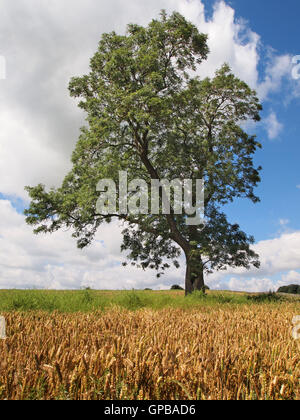Healthy Ash tree in Derbyshire, with wheat field in foreground. With Ash die-back threatening, this could soon be - Stock Photo