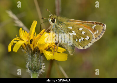Female Silver-spotted skipper, Hesperia comma, in the Chilterns, England, in late summer, feeding on hawksbit. - Stock Photo